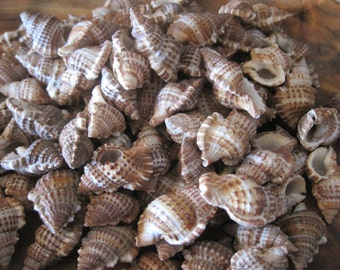 Bursa Bursa Seashells (15) - Shells - Seashell Supply  - Craft Seashells - Coastal Home Decor