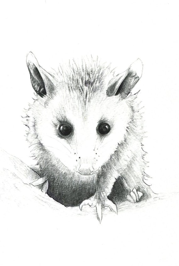 Baby Opossum Art Print Of A Drawing Available 5x7 Or Etsy
