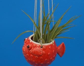 Petit, suspendus Puffer Fish de plantes grasses, plantes de l'Air, plantes grasses