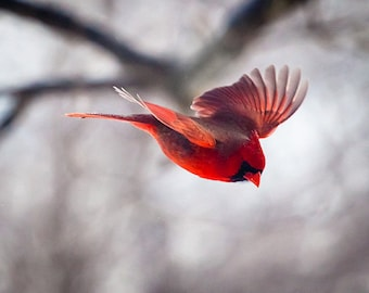 Flying Bird, Cardinal, Bird Photography, Christmas Card, Winter, Red, Nature Photography, Wings, Gifts for Him,  Holiday Gifts, Home decor