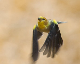 Bird Photography: The Art of Staying Aloft No 27 American Goldfinch ( Carduelis tristis)
