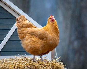 Chicken at Twilight
