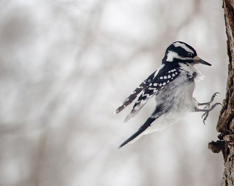 Bird photography: The Art of Staying Aloft No.25  Downy Woodpecker (Picoides pubescens)