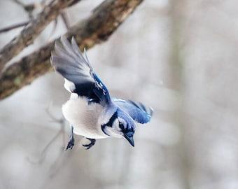 Blue Jay, wall art, bird photograph, wall art, winter photography, forest animals, bird art print,