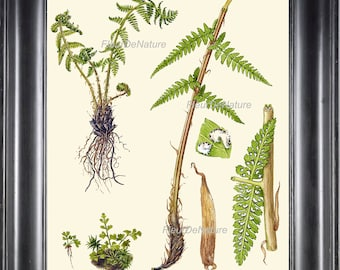ANTIQUE FERN Print 8X10 Botanical Art Print 8 Lindman Antique Beautiful Green Ferns Forest Nature Natural Science to Frame Wall Decor