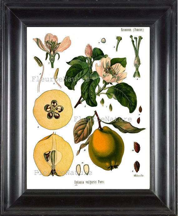 Grabado Botánico Kohler 8 x 10 lámina botánica 64 anatomía | Etsy