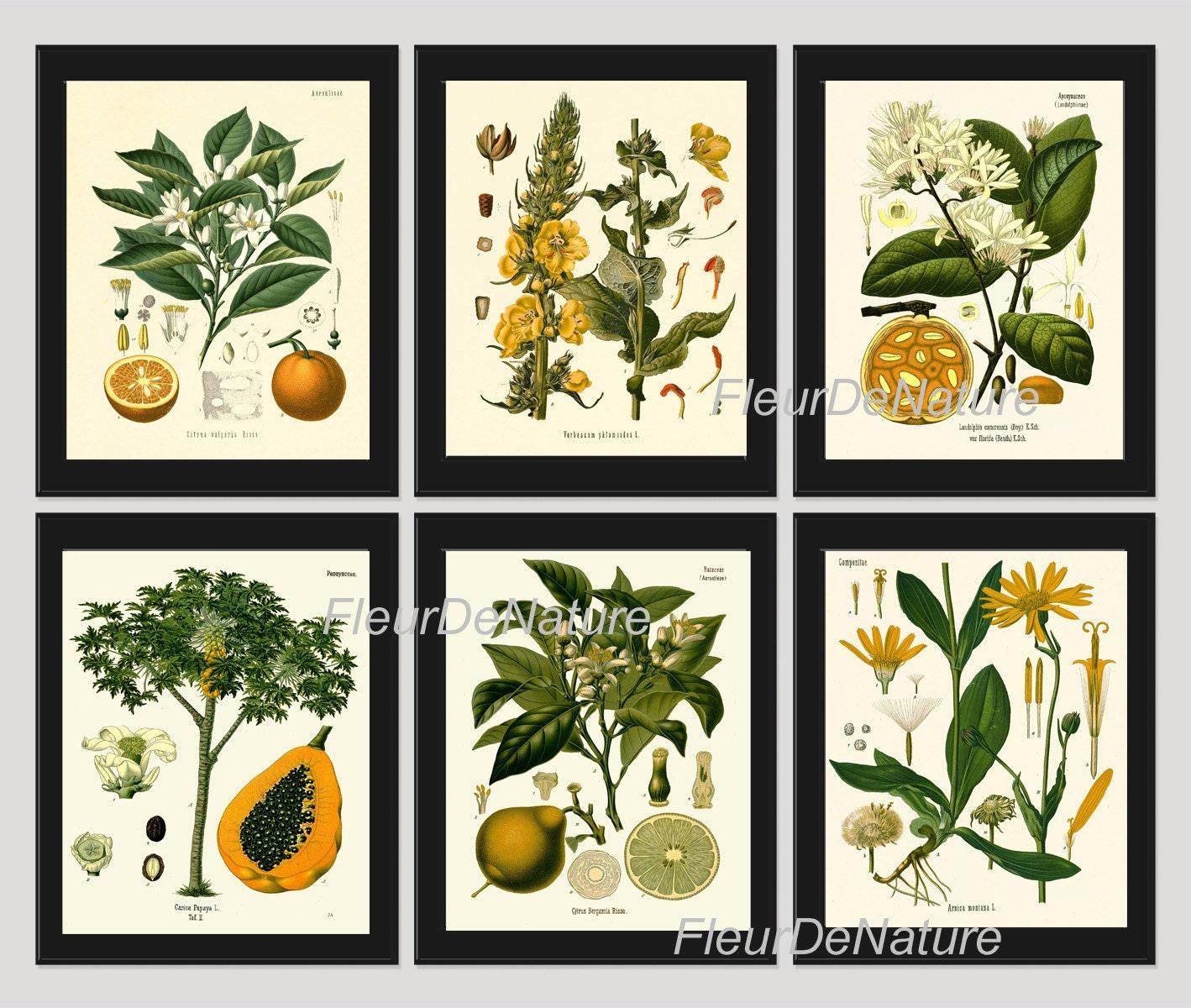 BOTANICAL PRINT Kohler 8x10 Botanical Art Print 65 Beautiful Blooming Apple Tree Fowers Fruit Print Garden Nature to Frame Home Decor