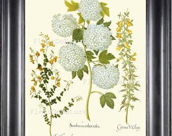 BOTANICAL PRINT Besler 8x10 Botanical Art Print 60 Beautiful White Hydrangea Garden Flower Plant Summer Antique Writing to Frame