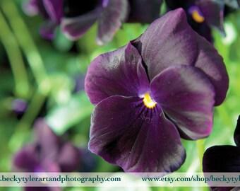 Pansy Flower Fine Art Photo Print