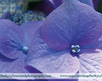 Hydrangea Fine Art Photo Print