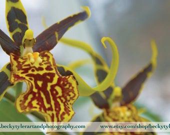 Brassidium Orchid Fine Art Photo Print