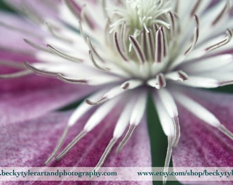 Clematis Fine Art Photo Print