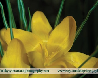 Crocus Flower Macro Fine Art  Photo Print