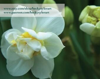 Daffodil Macro Fine Art Photo Print