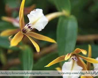 Epidendrum Orchids Fine Art Photo Print