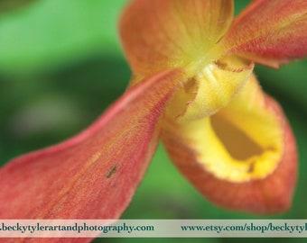 Paphiopedilum Orchids Fine Art Photo Print