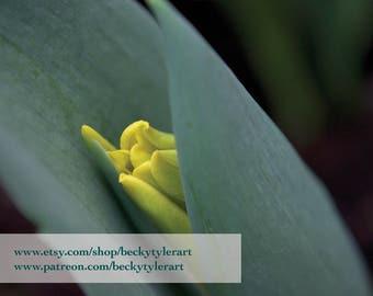 Tulip Macro Fine Art Photo Print