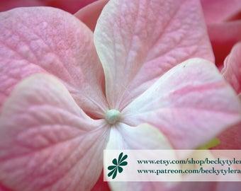 Hydrangea Macro Fine Art Photo Print