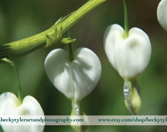 Bleeding Hearts (dicentra) Macro Fine Art Photo Print