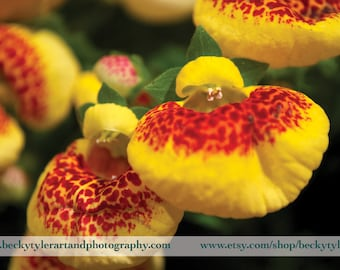 Calceolaria, Macro Photography, Fine Art Photo Print