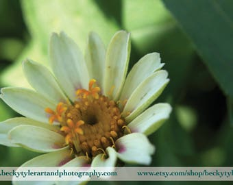 Zinnia Macro Photography Fine Art Photo Print