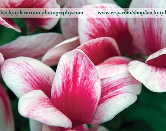 Cyclamen Fine Art  Photo Print