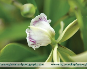 Prosthechea Orchid Fine Art Photo Print