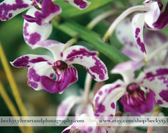 Rhynchostylis Orchid Fine Art Photo Print