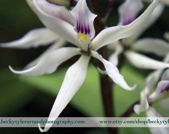Encyclia Orchid Fine Art Photo Print