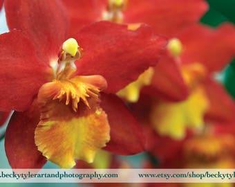 Oncostele Orchid Fine Art Photo Print