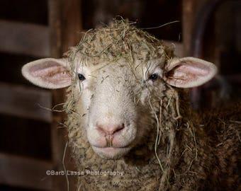 Lambs, photo, spring, sheep, wool, fleece, hay, fine art, photography, portrait, Wisconsin, print, barblassa