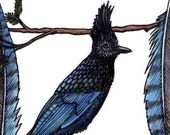 Steller's Jay | Cyanocitta stelleri - HQ Giclee Art Print