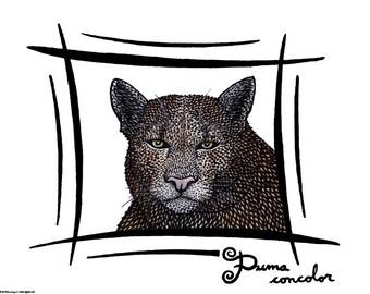Cougar / Puma concolor - HQ Giclee Art Print