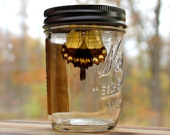 Jewelry Gift Packaging - Homemade Butterfly Preserves  - Gift Jar for Butterfly Wings