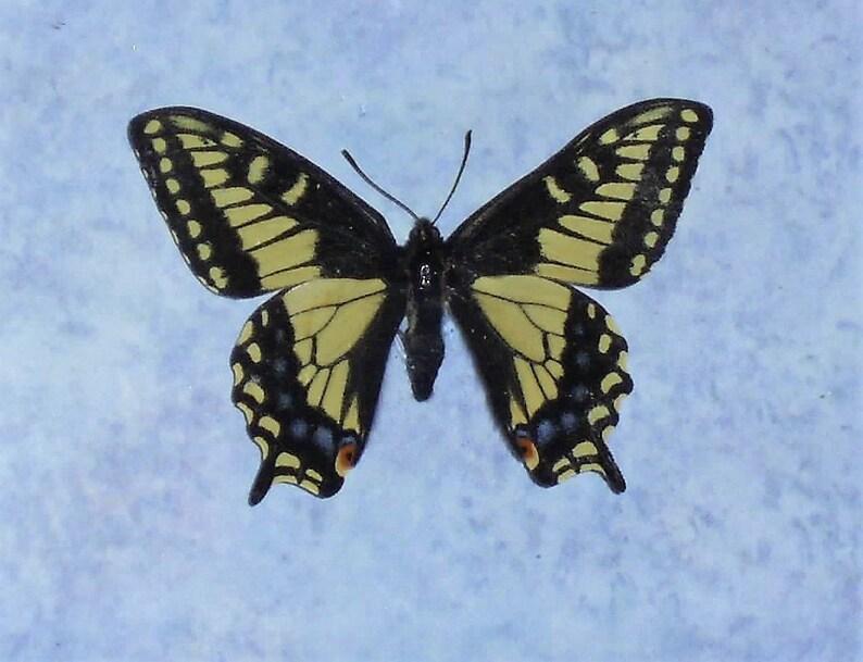 Anise Swallowtail Butterfly ArtTaxidermy