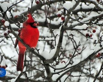 Cardinal #2- winter