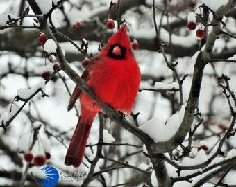 Cardinal-winter