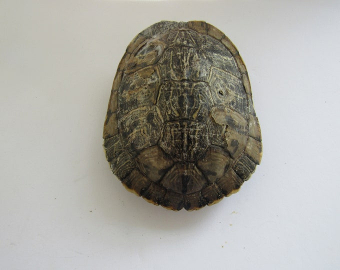 Red Slider Turtle Shell Whole Carapace Taxidermy Crafts Education Cabin Decor  3