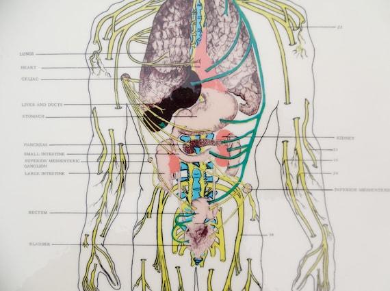 Jahrgang die Nerven und Organe vegetative Nervensystem | Etsy