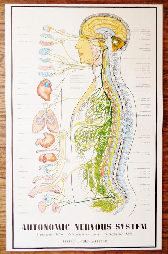 Jahrgang 1957 vegetative Nervensystem Diagramm / Anatomie | Etsy