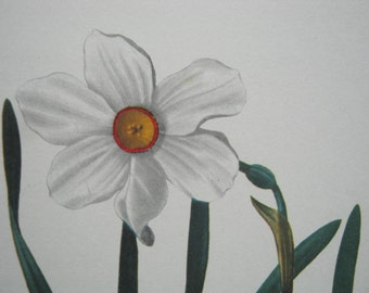 Vintage Garden Flower Daffodil print 1970s white yellow