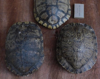 Red Eared Slider Turtle Shell (7in)