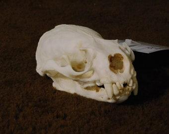 Otter Skull (Low-Grade)