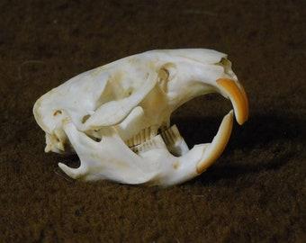 Muskrat Skull (Grade A)