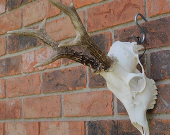 Roe Deer Skull 6 (Grade A)