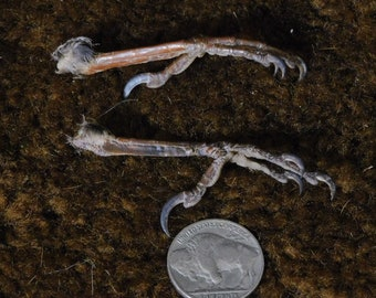 Starling Feet (2pc)