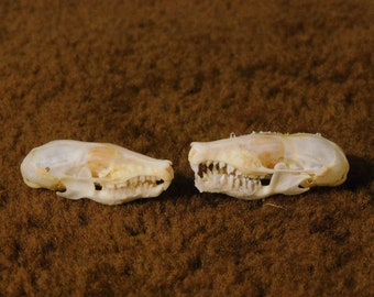 Horn, Bone, & Skulls