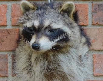 Taxidermy Raccoon Shoulder Mount