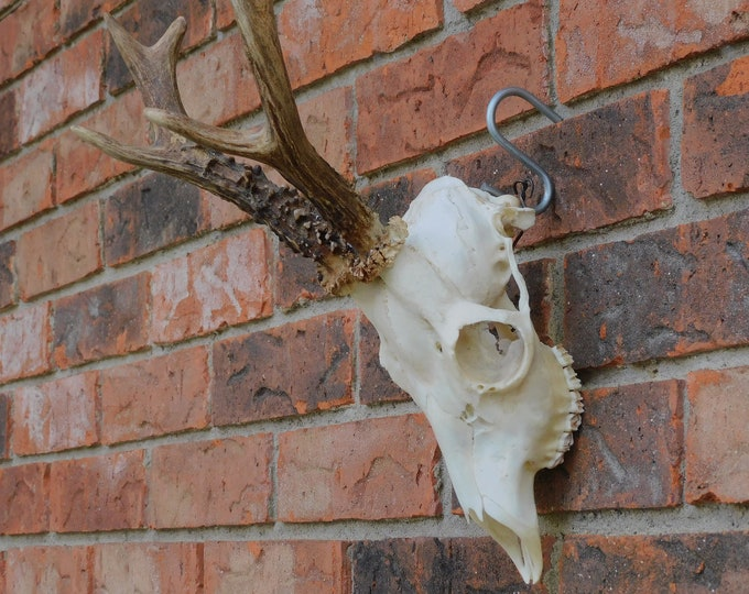 Featured listing image: Roe Deer Skull 3 (Grade A)