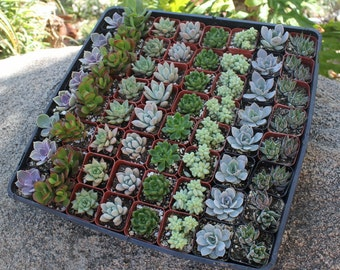 """120 Wedding collection Beautiful Succulents in their plastic 2"""" Pots great as Party Gift WEDDING FAVORS"""